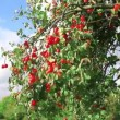 Apple tree with ripe apples — Stock Video