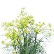 Branch of fresh dill isolated on a white background — Stock Photo