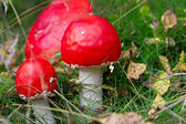 Red amanita in the forest. — Stock Photo