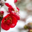 Flowers in the snow close-up. - Zdjcie stockowe