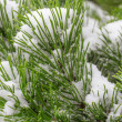 Spruce branch covered with snow close-up — Stock Photo