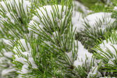 Spruce branch covered with snow close-up — ストック写真