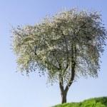 Spring flowering apple trees — Stock Photo #24664025