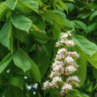 Flowering branches of chestnut — Stock Photo #25231571