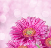 Pink gerbera background with bokeh effect — Stock Photo
