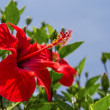 Stock Photo: Hibiscus Flower.