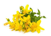 St. John's wort flowers close up on white background — Stock Photo