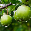 Green apples on a branch in a garden — Stock Photo #28967229