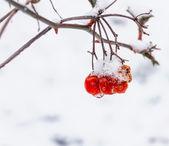 ягоды калины в снегу — Стоковое фото