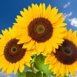 Stock Photo: Sunflowers on a background of blue sky