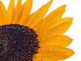 Sunflower with drops of dew on a white background. — Stock Photo