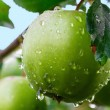 Green apples on a branch in a garden — Stock Photo