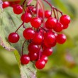 Red autumn berry — Stock Photo