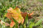 Hoja de otoño en la hierba — Foto de Stock