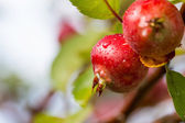 Twig of Paradise apples close up — Stock Photo