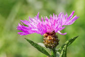 Thistle flower close-up — Stock Photo