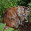 Maine Coon Cat in the grass — Stok fotoğraf