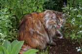 Maine Coon Cat in the grass — Stock Photo