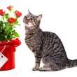 European cat with gifts. Isolate on white background, — Stock Photo