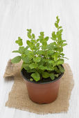 Mint in a pot on a wooden table — Stock Photo