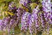 Beautiful blue wistaria — Stock Photo