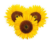 Sunflower on a white background. — Stock Photo