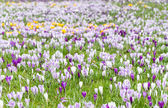 Crocus blooming in the meadow.  — Stock Photo