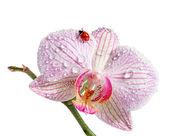 Ladybug on orchid. Isolated on white background  — Stock Photo