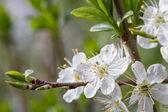 Gren av körsbär blommar — Stockfoto