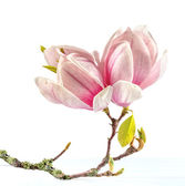Flowering branch of Magnolia. — Stock Photo