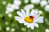Ladybug on camomile flower close-up. — Stock Photo