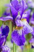 Blauwe irissen in de tuin — Stockfoto