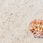 Shells on sandy beach — Stock Photo #49314515