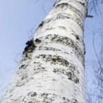 Birch tree close up — Stock Photo #24428649