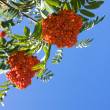 Red berries of rowan — Stock Photo #30755889