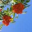 Stock Photo: Red berries of rowan
