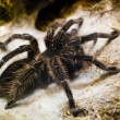 Tarantula spider — Stock Photo