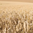 Stock Photo: Field of golden grain