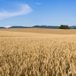 Field of golden grain — Stock Photo