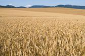 Field of golden grain — Stock Photo