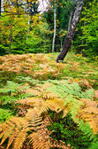 Forest with ferns — Stock Photo
