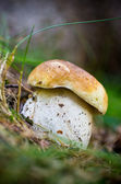 Boletus in the forest — Stock Photo