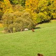 Autumn landscape with grazing cattle — Stock Photo