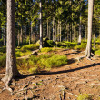 Stock Photo: Inside coniferous forest