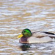 Male duck — Stock Photo