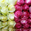 Colorful Rose Background — Stock Photo