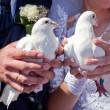 White pigeons in the hands of the newlyweds — Stock Photo #21610199