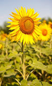 Yellow sunflower on the perfect field — Stock Photo