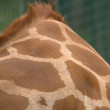 Stock Photo: Giraffe's Neck