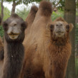 Two camels — Stock Photo #13255542